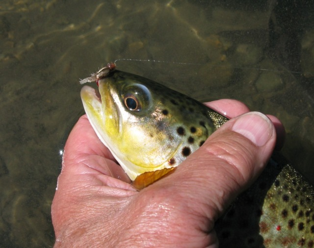 Another Spring Creek brown that took the Floating Caddis Emerger.