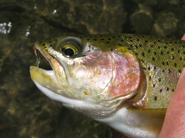 A nice rainbow also fell victim to the Floating Caddis Emerger on that late-April day in 2012.