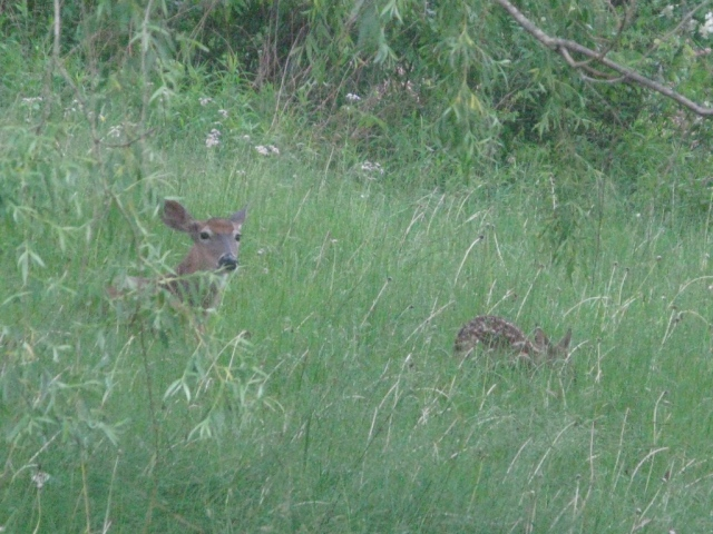 Doe and fawn in my front yard.
