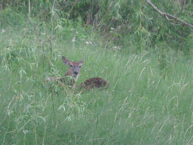 The fawn is heading back to its mother.