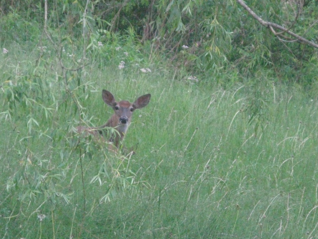 The fawn is barely visible, except for thew tips of its ears.