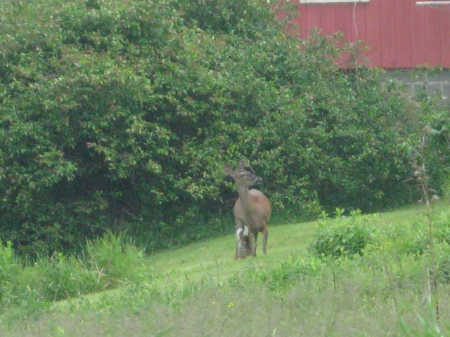 The doe is licking her newborn fawn, right on mowed grass in my neighbor's yard..