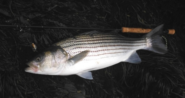 "Another 28"" striper, victim of the feather version of Jim Bernstein's Guitar Minnow."