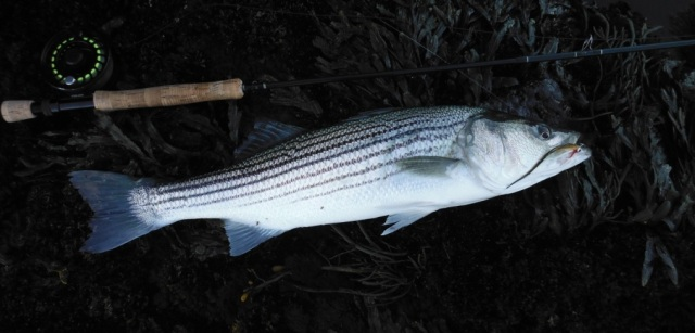 Striper caught on Guitar Minnow at mouth of York River, fish caught and photo by Dave Lomasney.
