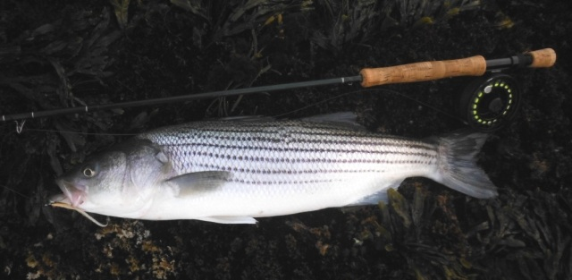 Striper caught on Guitar Minnow. Photo by Dave Lomasney.