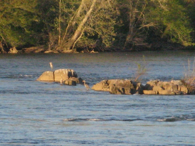 Great Blue Heons on the Susquehanna River
