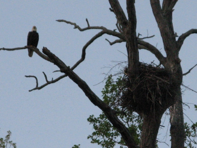 While we watched, the parent flew from the nest to  nearby limb.