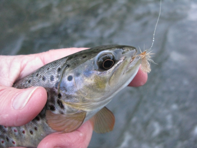 Some trout took the dun in my tandem dry fly rig.
