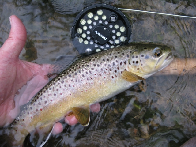 Another trout. Fourteen trout brought to hand in an hour and twentyt ,minutes is prety decent fishing.