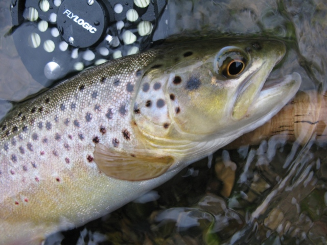 Macro image of trout in previous photo.