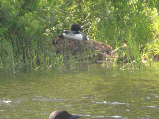 The female loon on the nest, incubating two eggs.