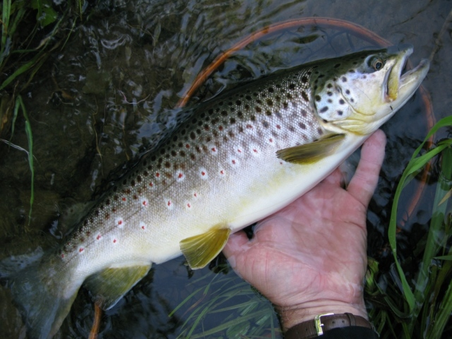 18-inch brown trout taken on my Extended Body Slate Drake Thorax Dun pattern, Big Pine Creek, May 2012.
