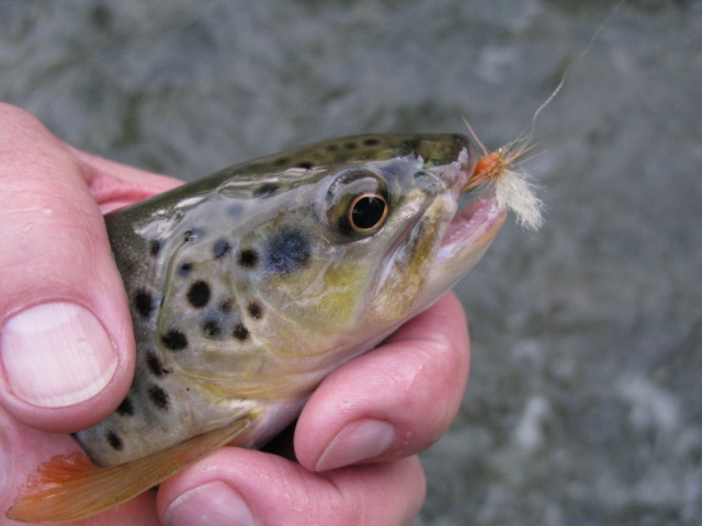 Smaller trout, about ten inches,