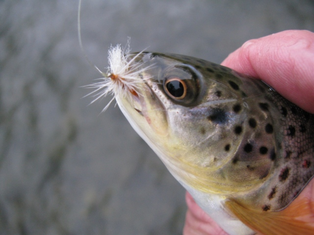 First trout of the evening on the Sulfur Poly-wing Thorax Dun.